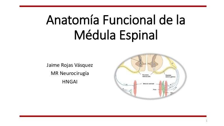 Anatomía funcional de la médula espinal