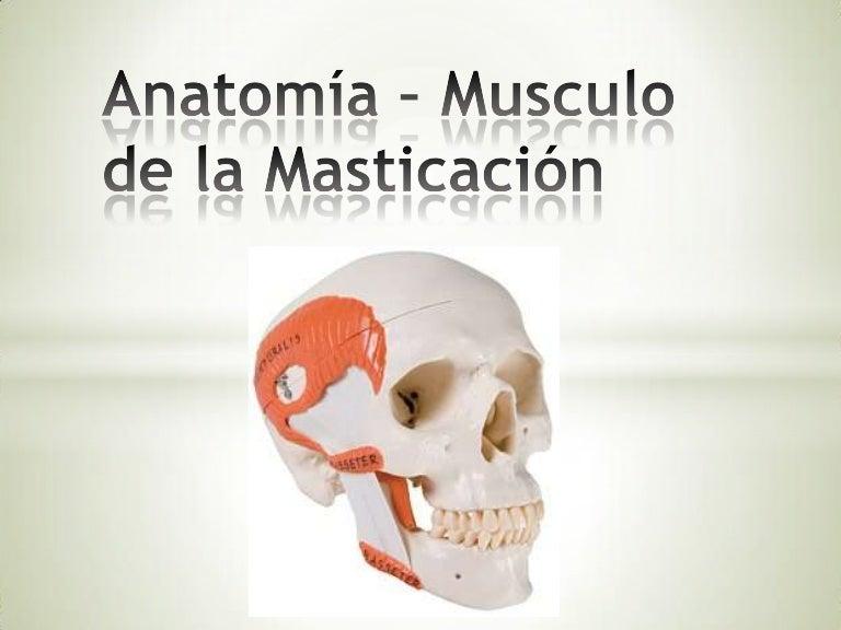 Anatomía – musculo de la masticación