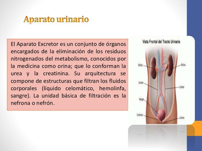 Esta sistema como constituido humano el urinario