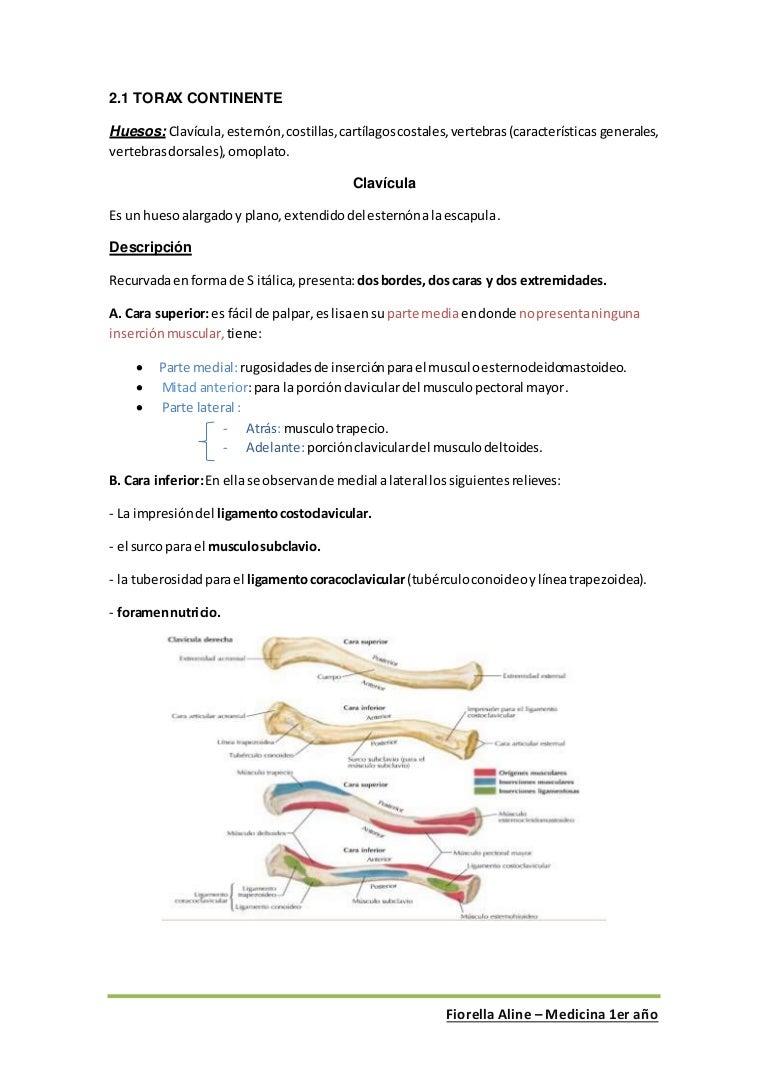 Anatomía - Huesos del Tórax.