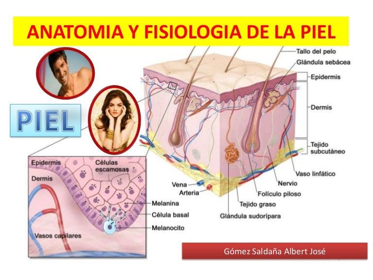 anatomiayfisiologiadelapiel-131114122848-phpapp02-thumbnail-4.jpg?cb=1384432825