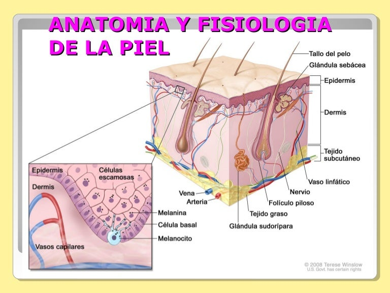 Dorable Anatomía Y Fisiología De La Piel Ideas - Anatomía de Las ...