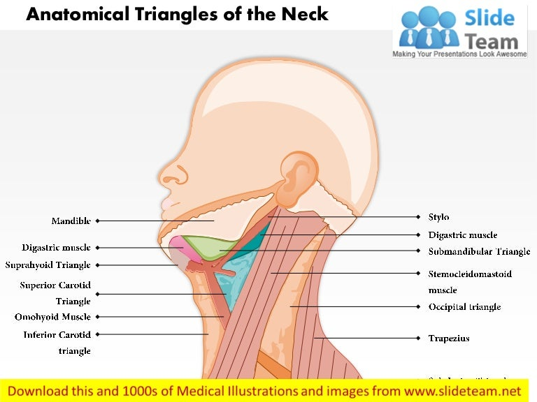 Anatomical Triangles Of Neck Medical Images For Power Point