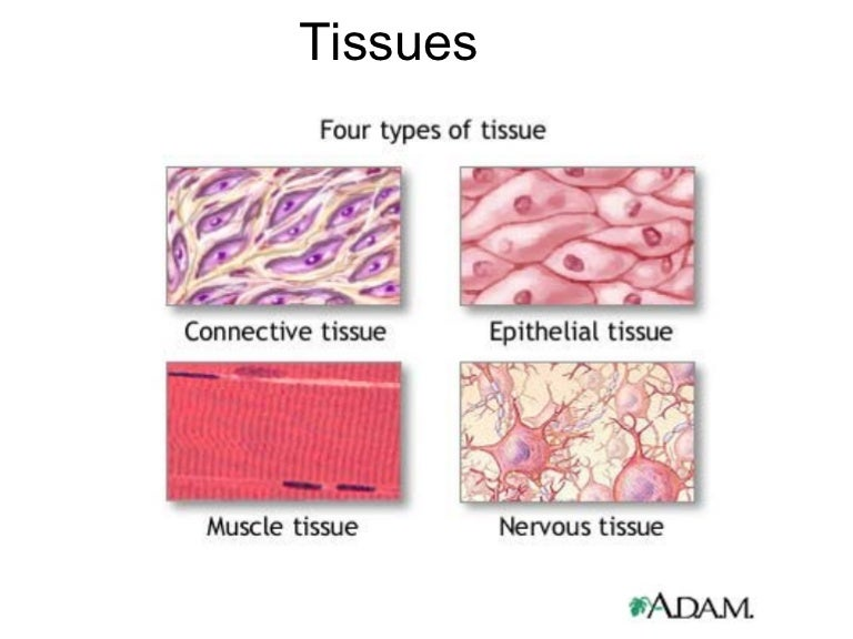 Anatomy And Physiology Tissue Chapter