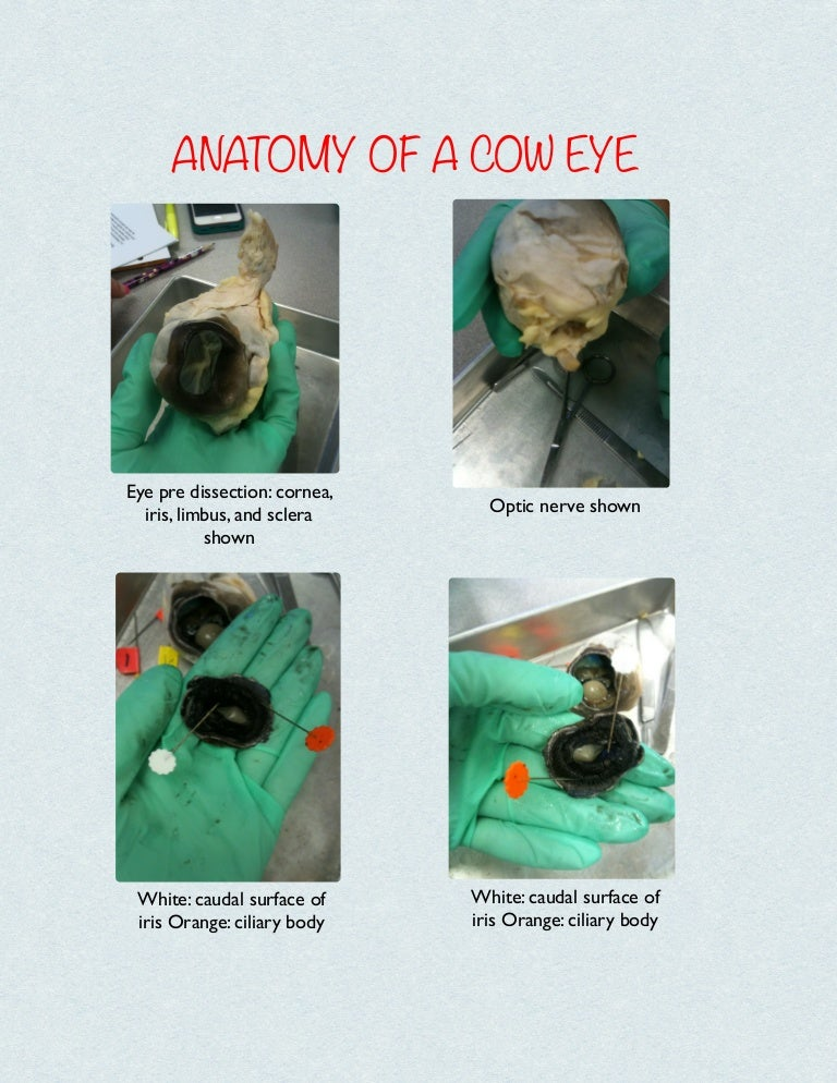 Anatomy of a cow eye