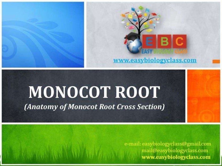 Anatomy Of Monocot Root Cross Section Ppt By Easybiologyclass