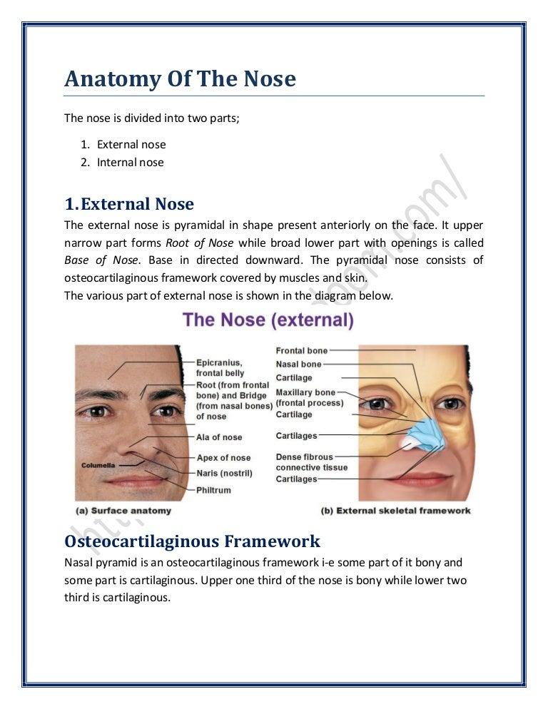 Exterior Nasal Anatomy Diagram Enthusiast Wiring Diagrams