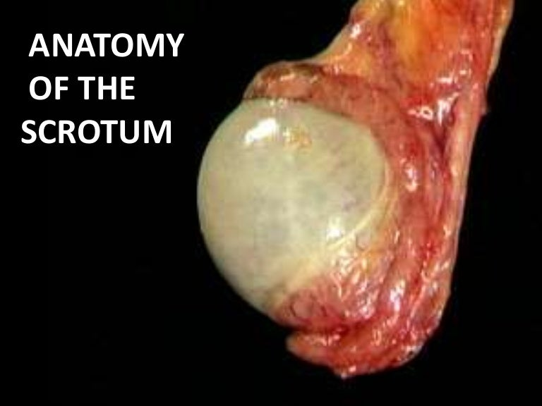 Anatomy Of The Scrotum