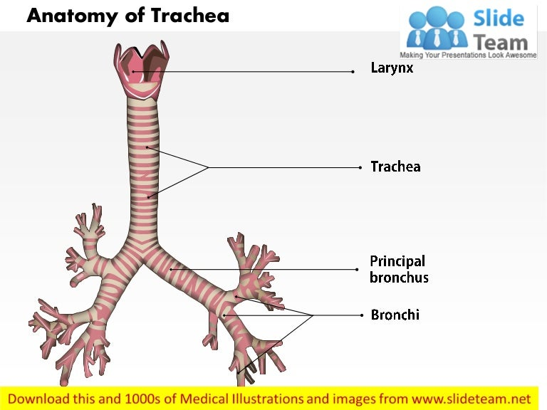 Anatomy Of Trachea Medical Images For Power Point
