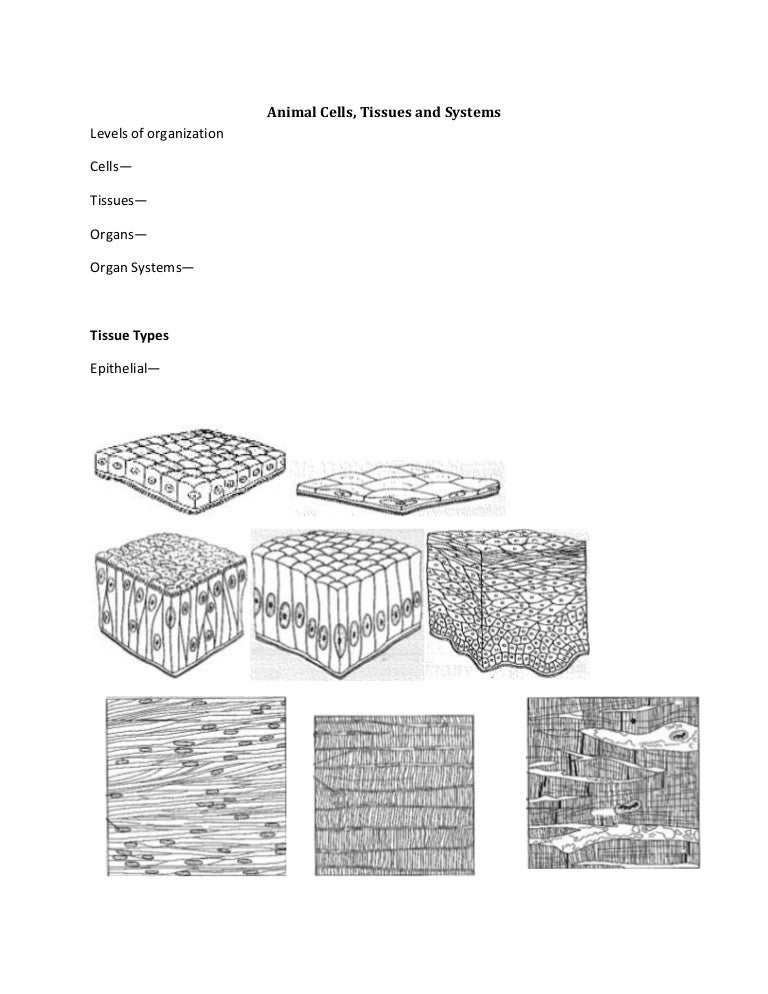 Cells And Tissues Worksheet Answers Rringband – Epithelial Tissue Worksheet
