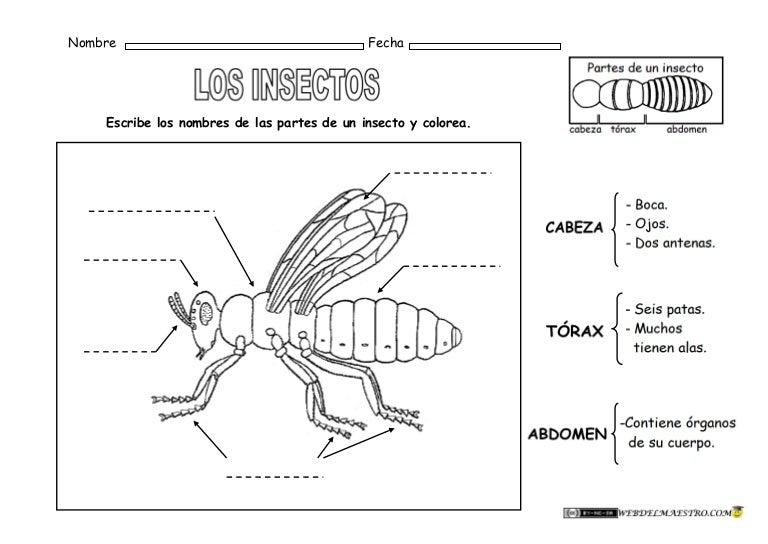 Animales invertebrados-partes-de-un-insecto