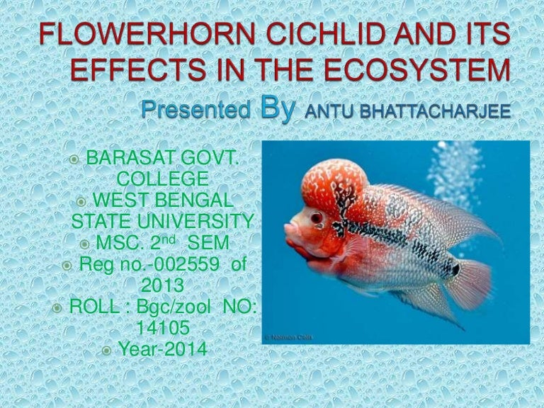 Flowerhorn Fish and Its Ecological Impacts