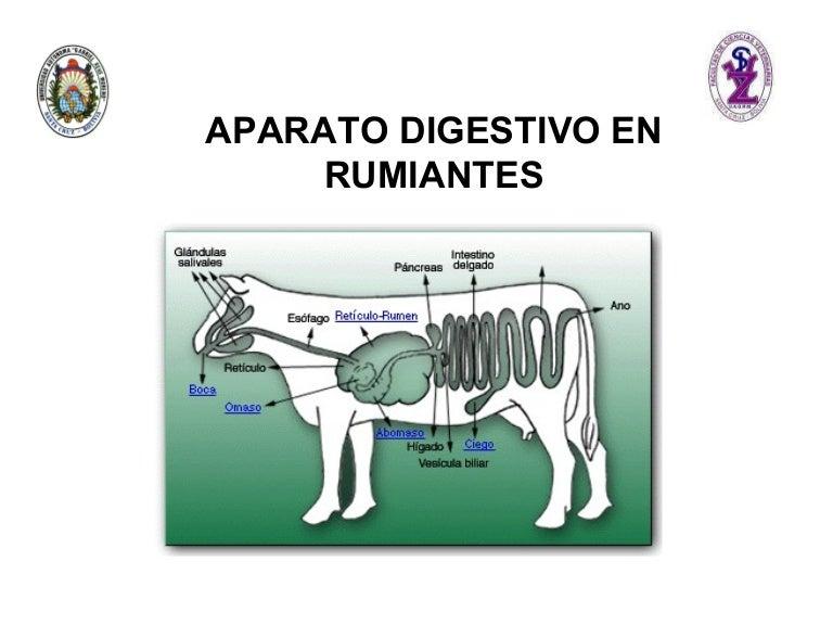 Aparato Digestivo Rumiantes[1]