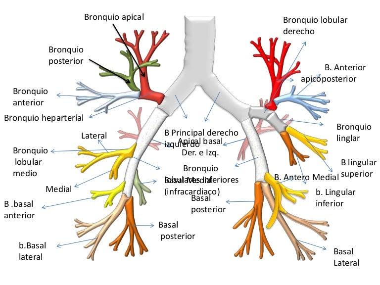 Arbol bronquial for Arboles con sus nombres y caracteristicas