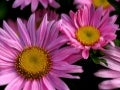 Beautiful Aster Flowers