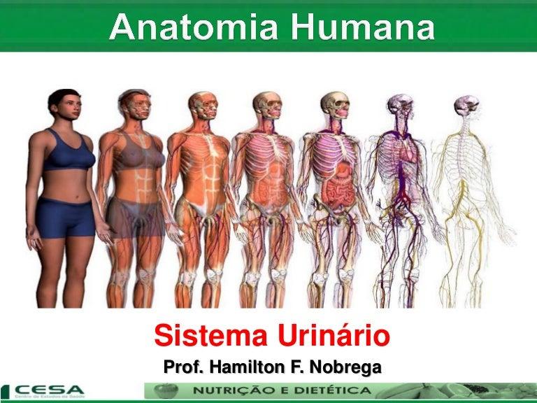 Perfecto Anatomía Urinaria Y La Fisiología Ideas - Anatomía de Las ...