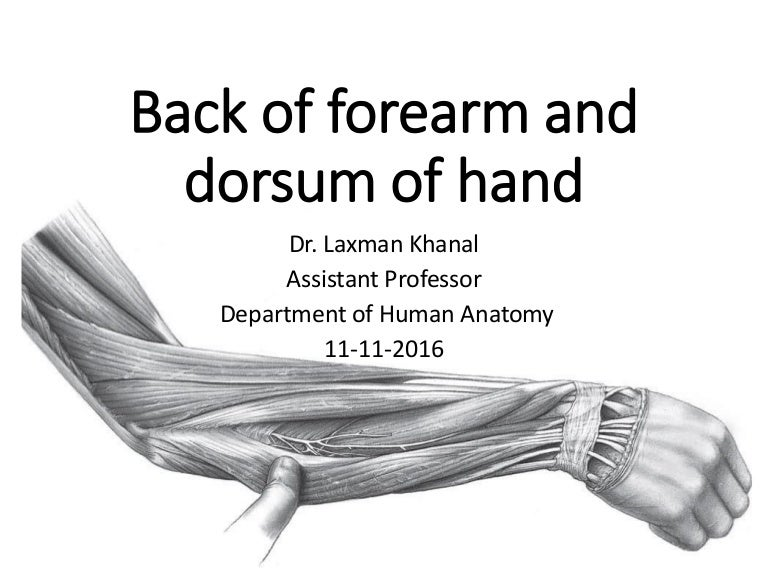 Anatomy Of Back Of Fore Arm And Dorsum Of Hand