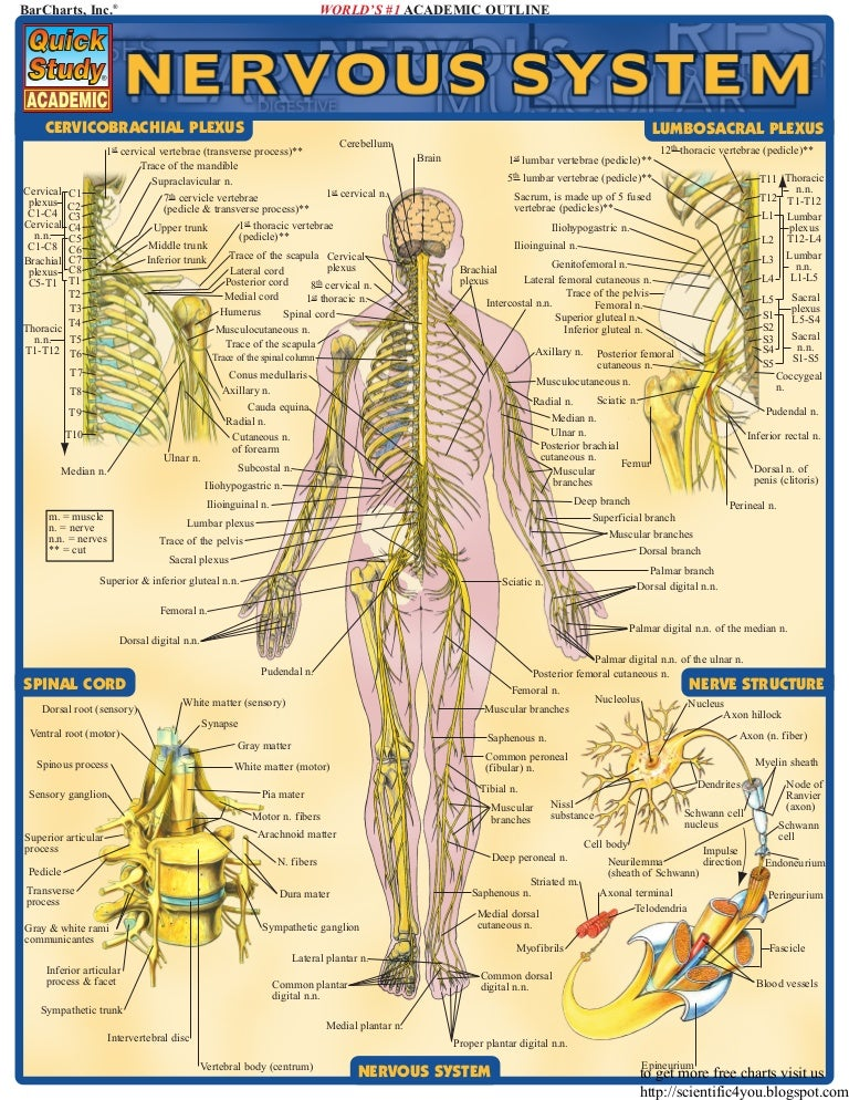 Bar charts quickstudy nervous system ccuart Choice Image