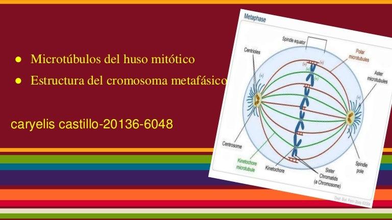 Los Cromosomas Y Microtubulos