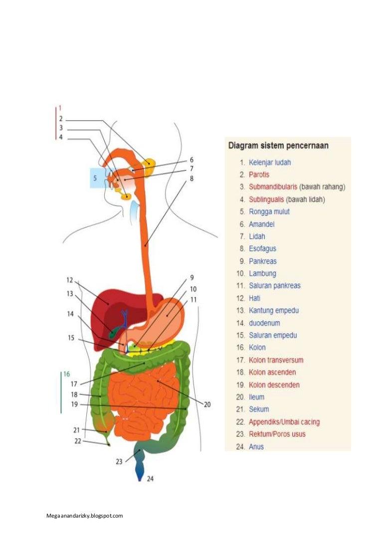 Sistem Pencernaan Pada Manusia Biologi