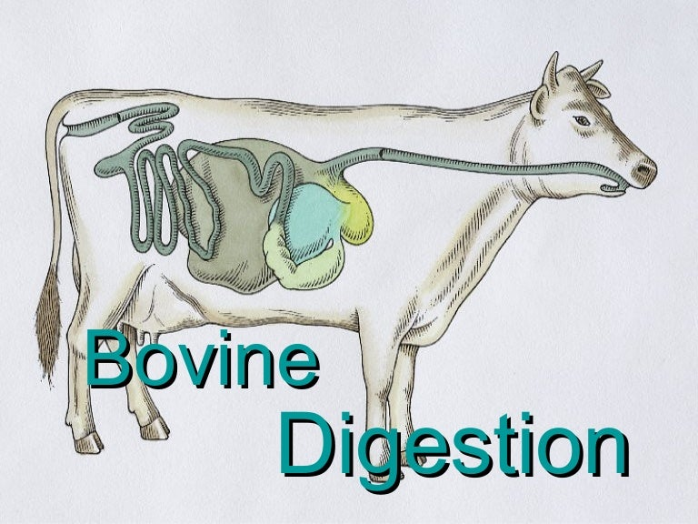 Bovinedigestion 090406182113 Phpapp01 Thumbnail 4gcb1239042110