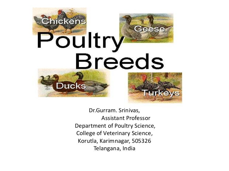 Classification Poultry Breeds Chicken Turkey Duck And Quail