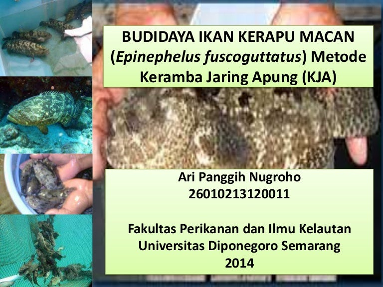 Budidaya Ikan Kerapu Macan Epinephelus Fuscoguttatus Metode Kja