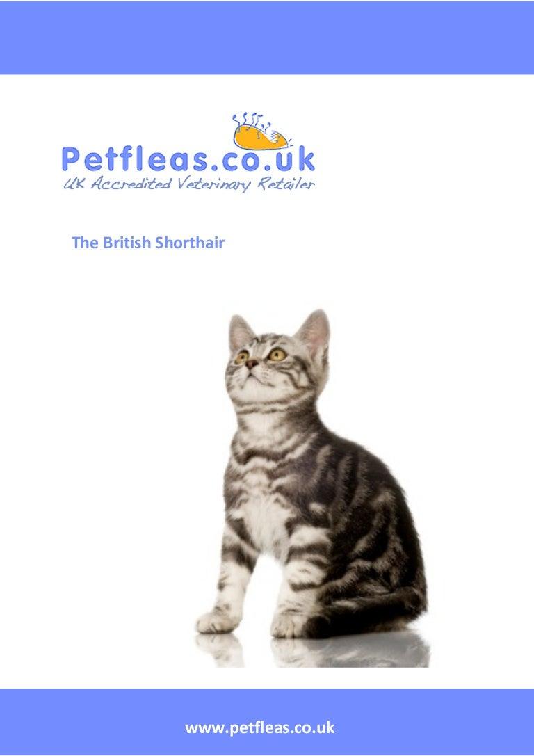 Cat Breeds: The British Shorthair