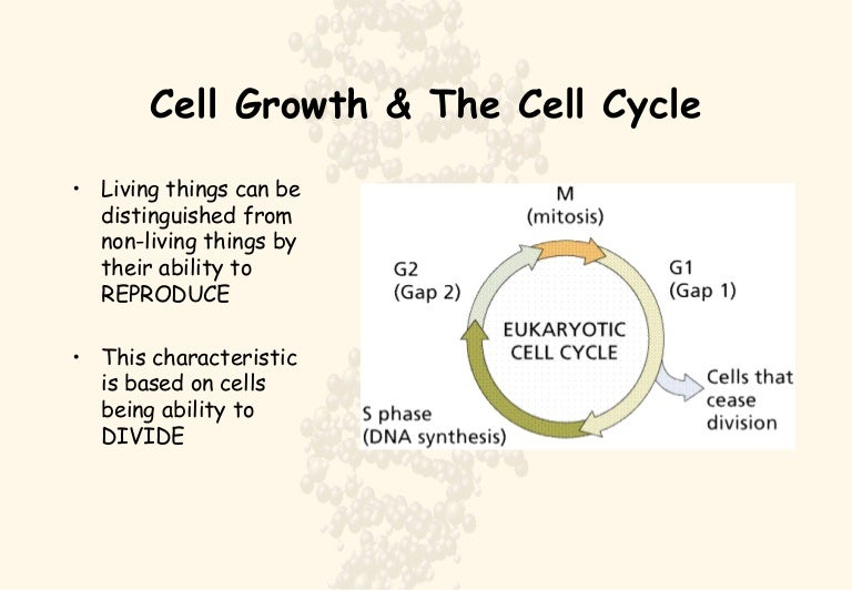 The cell cycle and mitosis ppt by biology boutique | tpt.