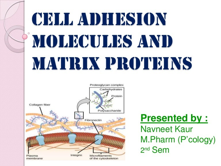Cell adhesion molecules and matrix proteins