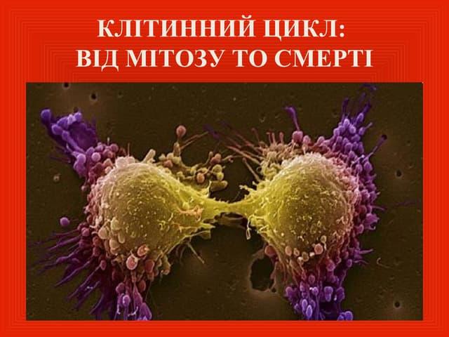 Клітинний цикл, апоптоз, аутофагія