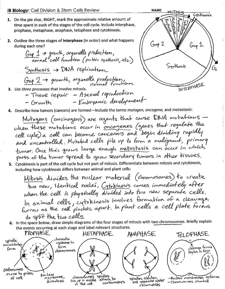 IB Cell Division Review Key 16 – Stem Cell Worksheet