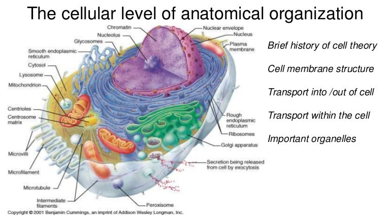 Cell Theory Membrane Structure Cell Transport And Important Organelles