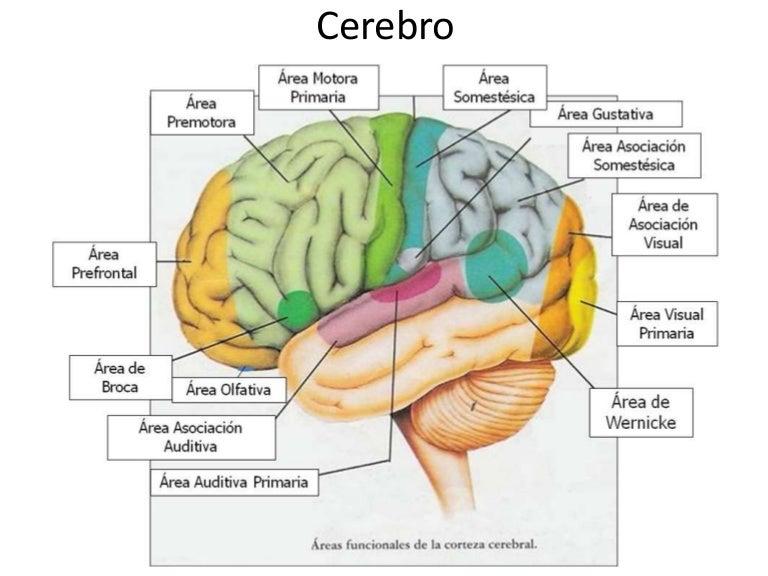 Cerebro Cada Parte Y Su Funcion