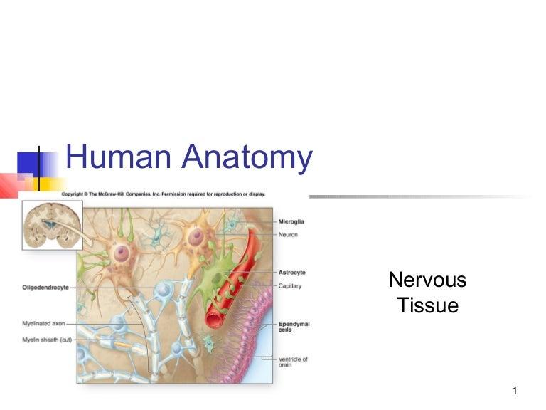 Ch14 Nervous Tissue