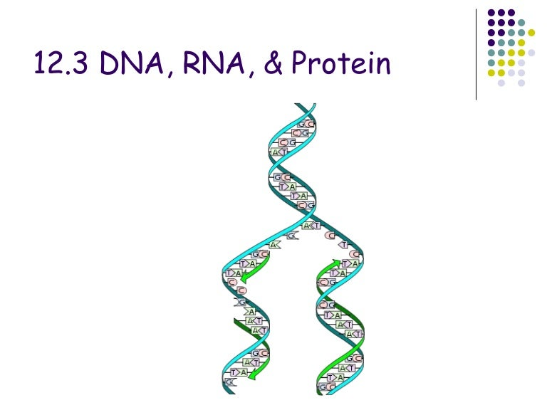 Transcription  Translation and Replication as well DNA  RNA Protein Synthesis Modeling as well DNA  > RNA  > Proteins   Storyboard by maxwelloulundsen likewise Dna Rna And Protein Synthesis Worksheet Answers Image HD of ch test moreover Chapter 12 3 dna rna and protein furthermore DNA → RNA → Proteins   Biology for Majors I in addition DNA  RNA and Protein    ppt video online download besides Dna rna and protein synthesis review worksheet – College Students in addition  additionally  besides Say It with Dna Protein Synthesis Worksheet Answers Pictures Dna Rna besides Solved  Name DNA RNA Protein Worksheet  20pts  1  Using Th together with DNA  RNA  Protein Synthesis Crossword Puzzle   hh   Protein biology further Dna Rna Protein Synthesis and Mutation Worksheet Answers Fresh furthermore DNA RNA Protein Answer sheet   DNA RNA and Protein Synthesis also DNA  RNA  Protein Synthesis Crossword Puzzle by Amy Brown Science. on dna rna and proteins worksheet
