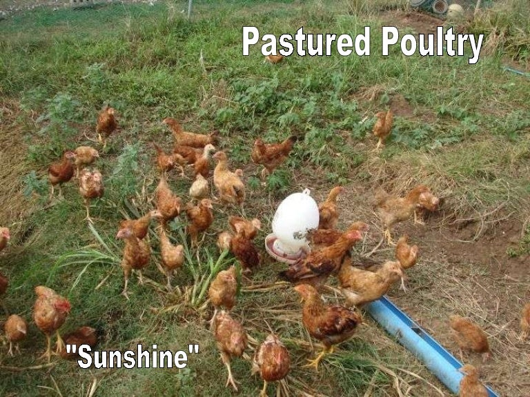 Chicken tractors, houses, pasture and feed