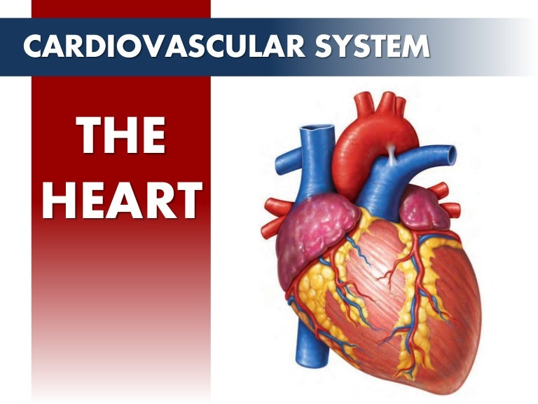 Circulatory System - The Heart