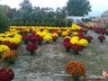 Colourful Chrysanthemums ( Nikos)