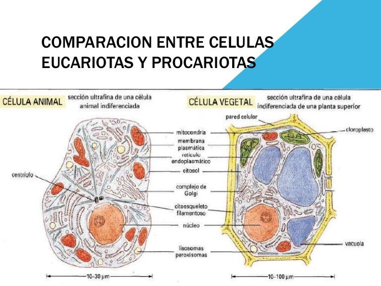 Comparacion Entre Celulas Eucariotas Y Procariotas