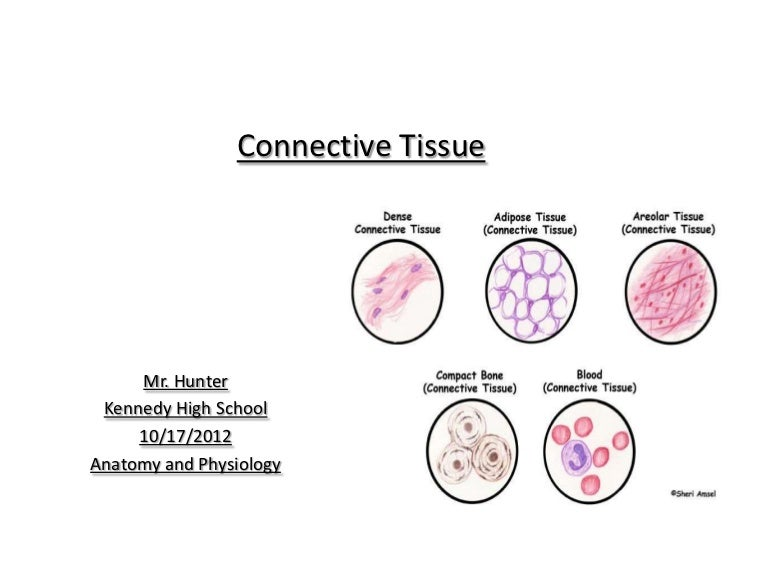 Anatomy And Physiology Connective Tissue