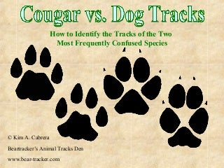 cougar cochonnes