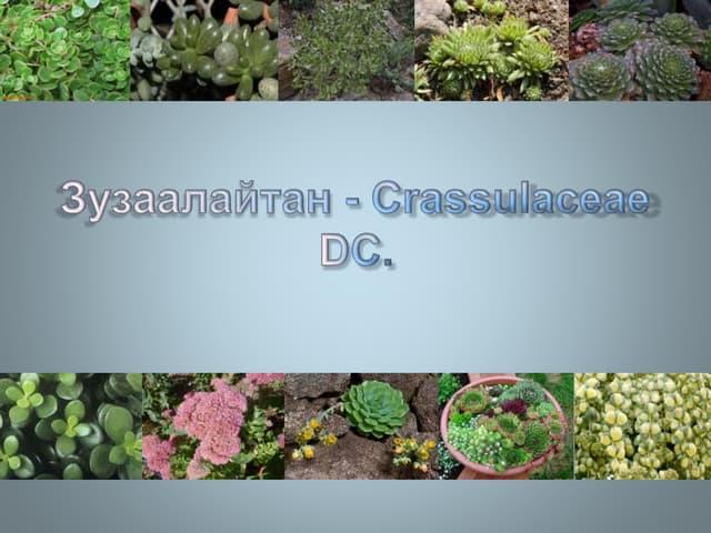зузаалайтан   Crassulaceae dc