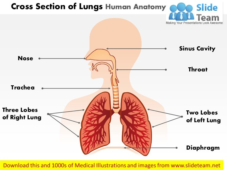 Cross Section Of Lungs Human Anatomy Medical Images For Power Point