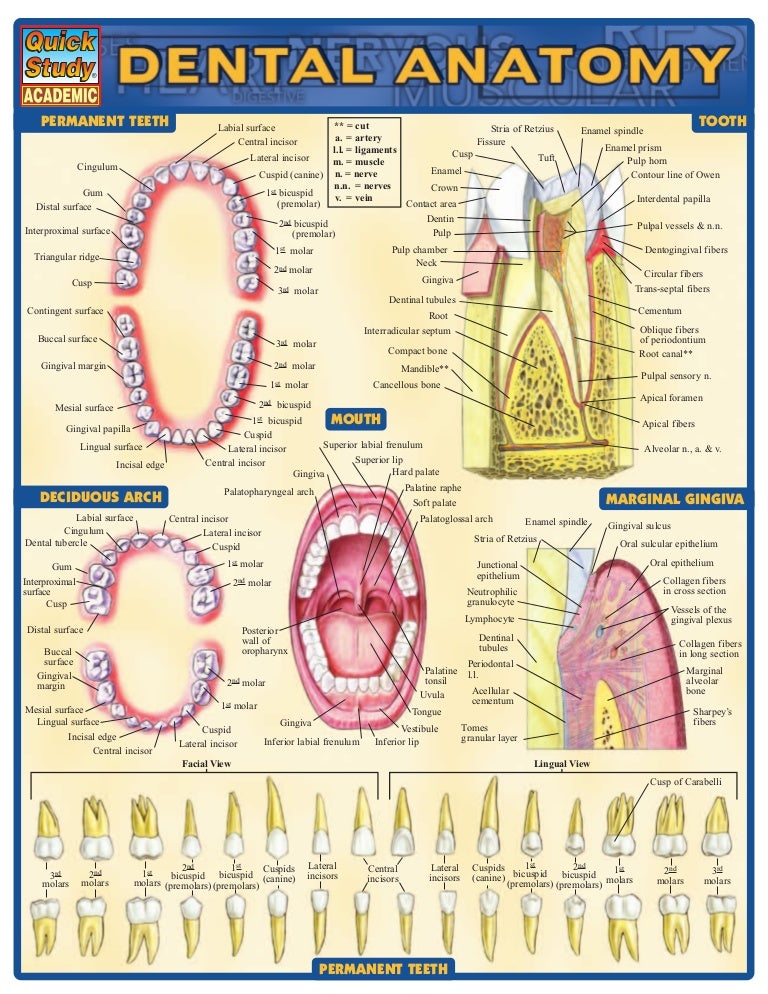 Dental anatomy reference_guide