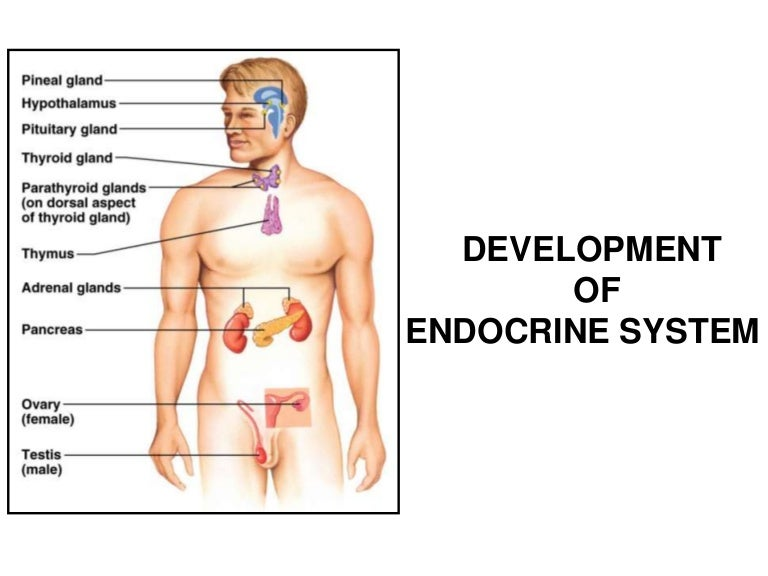 Development Of Endocrine System