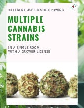 Different Aspects of Growing Multiple Cannabis Strains in a Single Room with a Grower License