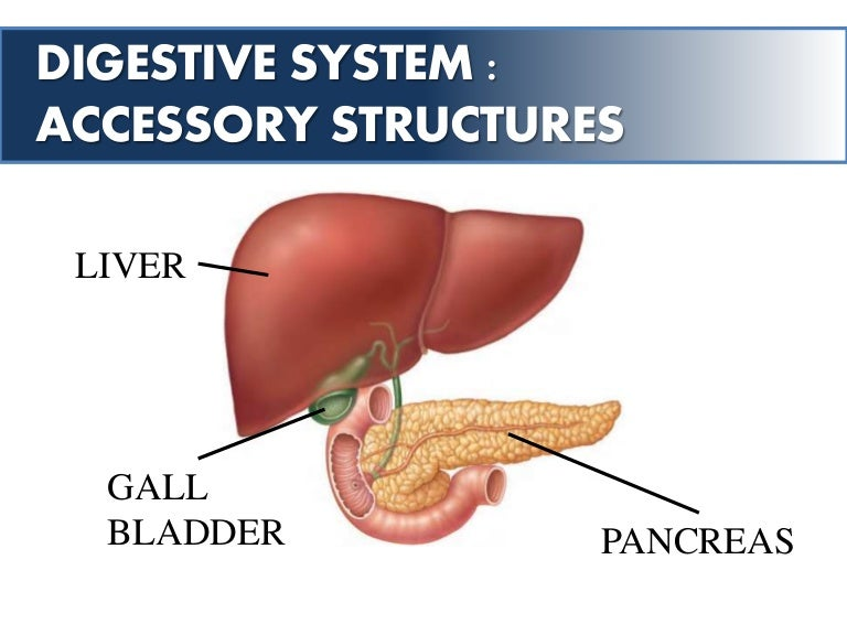 Digestive System Accessory Structures