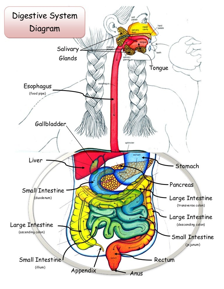 Digestive System Diagram Color Great Installation Of Wiring Diagram