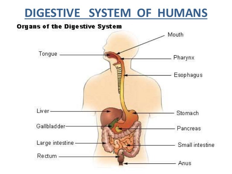 the different organs of the digestive system The digestion system is a series of organs within the body that work together to break down food when food is chewed and swallowed, the body is the nutrients and the remaining food separate and go into two different organs of the digestive system fats, proteins, and carbohydrates are moved.